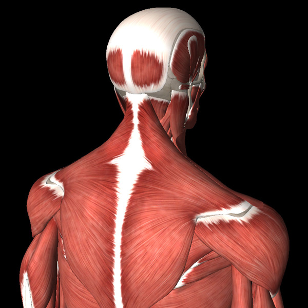 Анатомия болей в шейном отделе позвоночника - 2